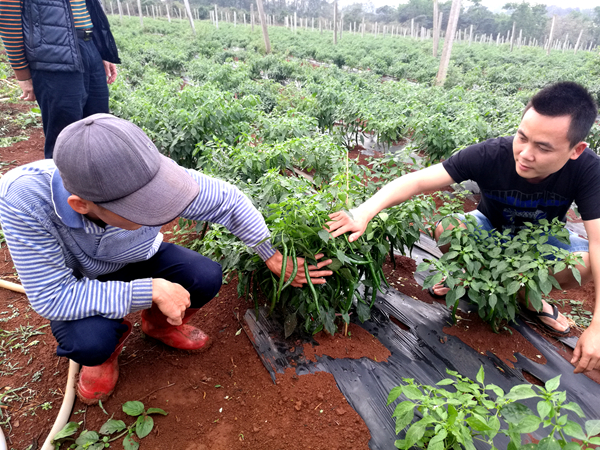 青枣园里长出绿辣椒 海口美兰区农民一石二鸟增收入