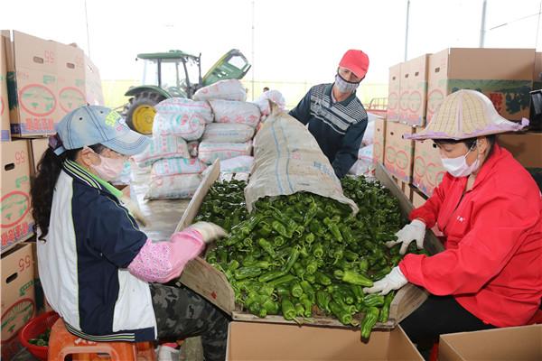 海口秀英首批冬季瓜菜喜获丰收 100%执证上市供应