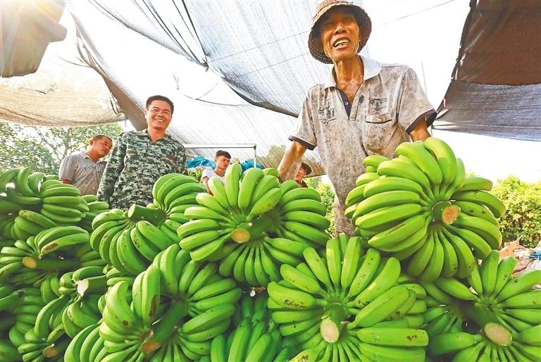 海南澄迈:大数据助力 蕉农打通销路