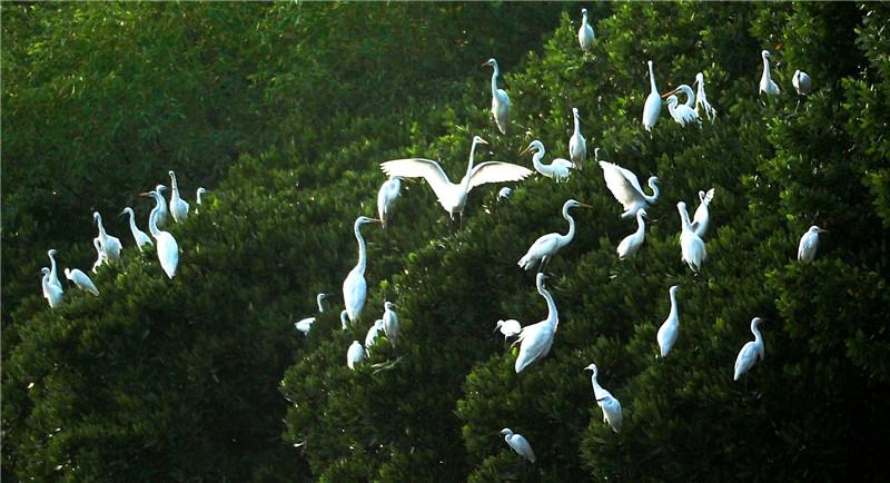 海口生态环境好 大量候鸟来过冬