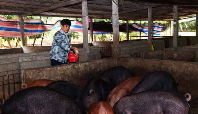 两年销售近百头猪 海口美兰区贫困户走上致富路
