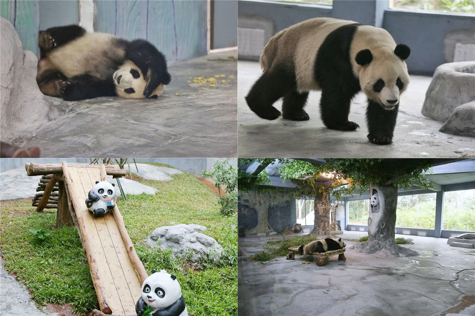 海野熊猫世界开馆 呆萌贡贡舜舜引围观(组图)