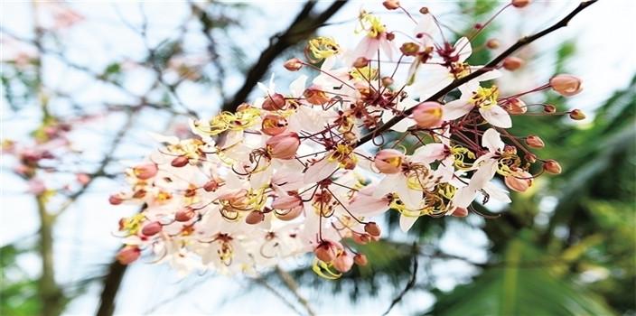 海口:樱花盛开 尽显浪漫