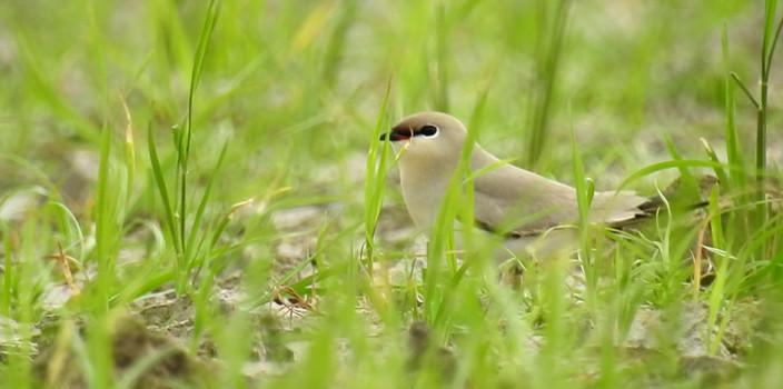 灰燕鸻栖息海口西海岸