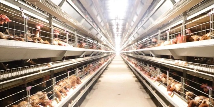 海口东山镇逾10万只蛋鸡急待售卖
