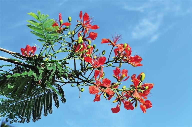 椰城凤凰花红似火