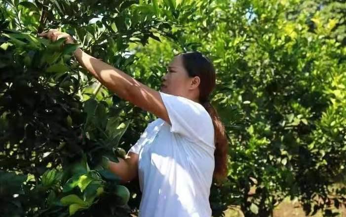 海口秀英區脫貧戶種植火山綠橙網上預售