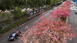 (状况)(1)广西柳州:斑斓同木棉花竞相衰开